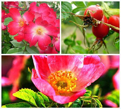 As propriedades da rosa mosqueta