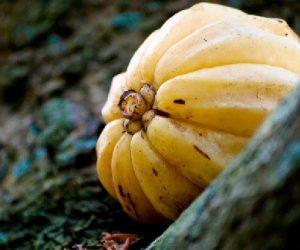 O que é o tamarindo malabar?